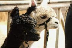 Alpacafarm Riethoven Kinderfeestje tussen de alpaca's