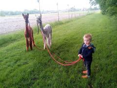 Bij Heierhof is het mogelijk om onder begeleiding, met alpaca's te gaan wandelen. Je wordt bij ons ontvangen bij de alpaca's.