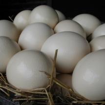 Verse eieren, heerlijk als bijzondere struisvogeleiersalade of voor een grote omelet.