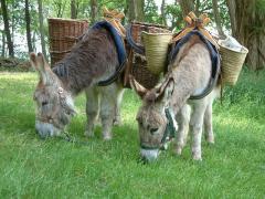 Vanaf 1 april 2017 verhuren wij op Ezelboerderij Heierhof onze ezels om u te vergezellen op uw wandeltocht door de Brabantse Kempen.